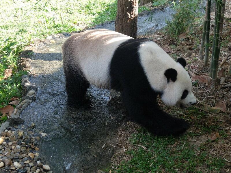 Чиангмай - Зоопарк - Панда