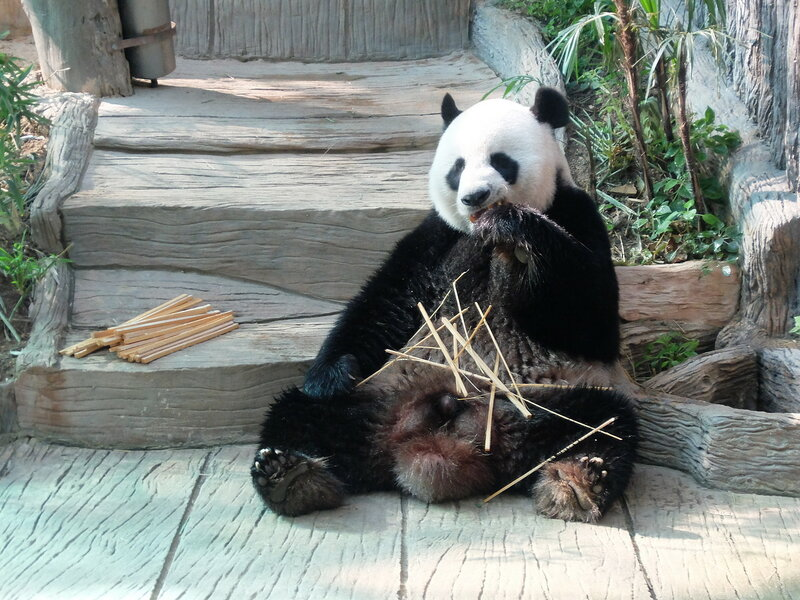 Чиангмай - Зоопарк - Панда обедают-с