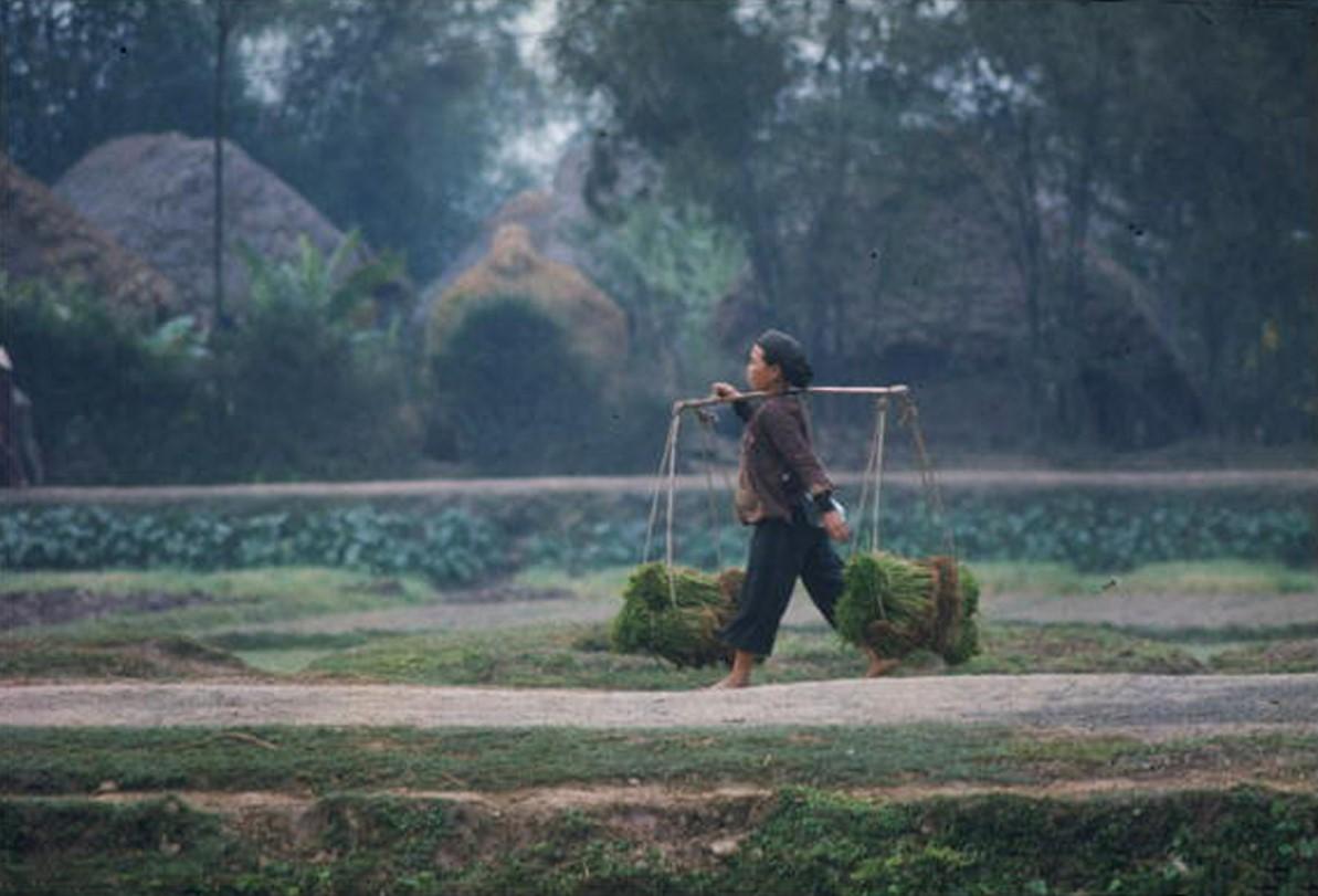 Вьетнамская женщина несет рисовые побеги мимо заводи