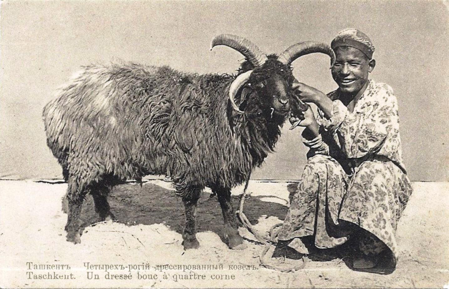 Четырехрогий дрессированный козел
