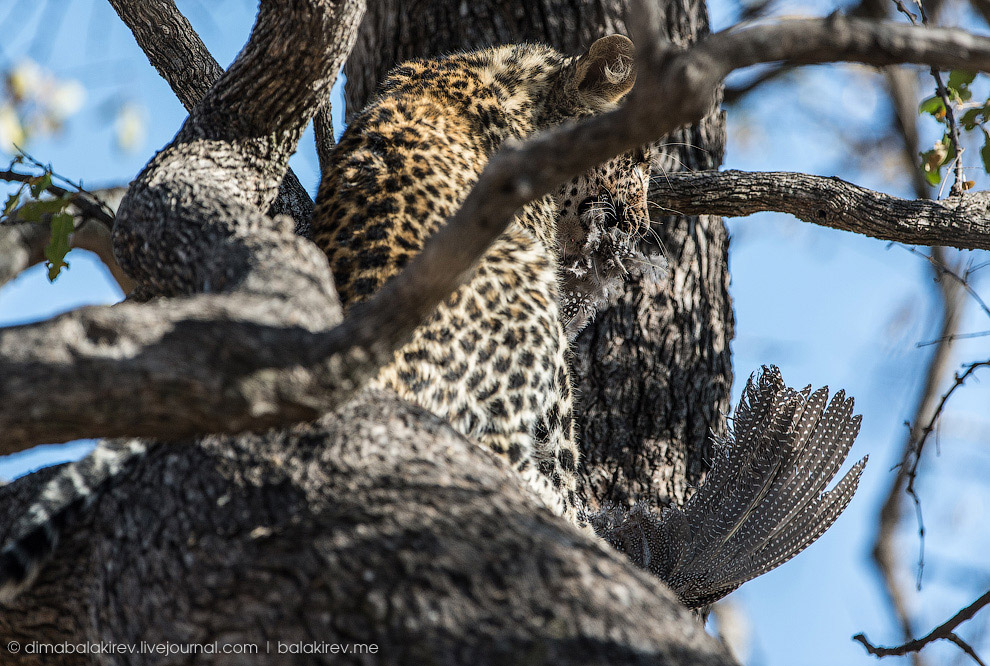 7. Дерево для леопарда — мягче любой перины. Кошечки любят развалиться на ветвях и нежиться,