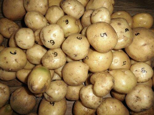 Семенной картофель.