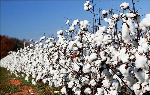 cai-downwardly-revises-cotton-output-to-397-lakh-bales_214970.jpg