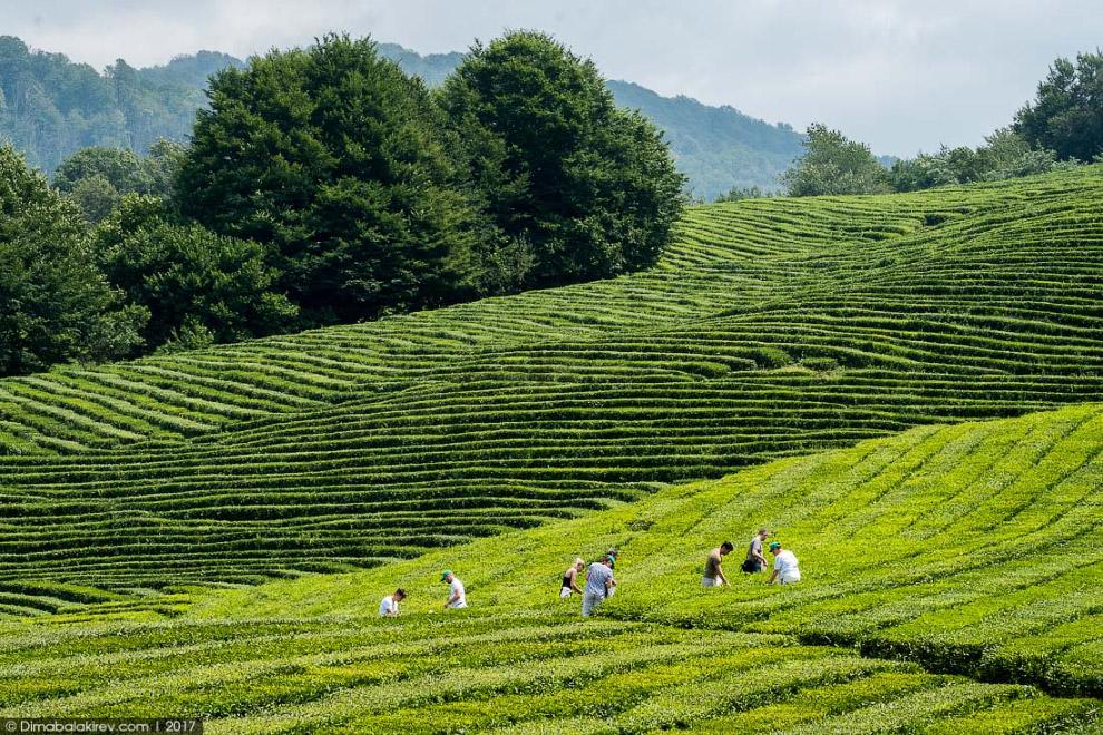 4. До середины 1990-х годов чаеводческая отрасль была одной из ведущих отраслей сельского хоз