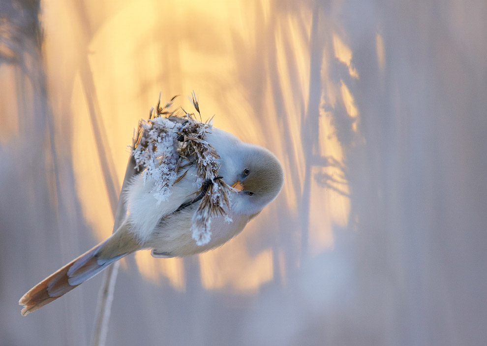 5. Бородатая неясыть на охоте. (Фото Markus Varesvuo | 2017 Bird Photographer of the Year Awa