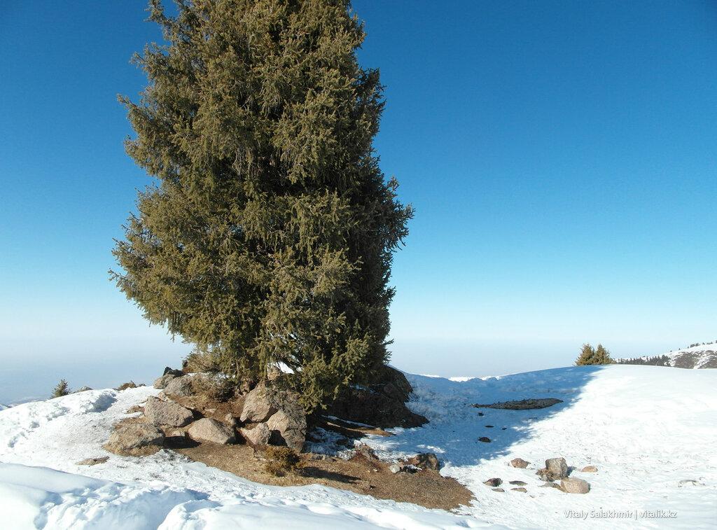 Дерево по дороге на Фурмановку.