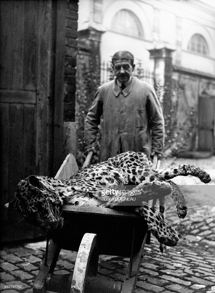 1943. Национальный музей естествознания. Ботанический сад. Ягуар транспортируется в Лабораторию таксидермии