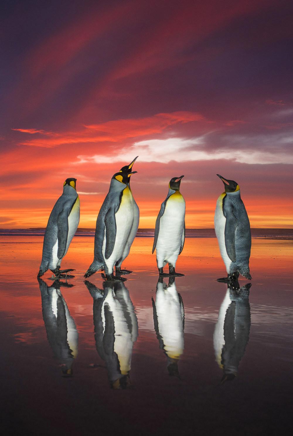 Королевские пингвины на рассвете