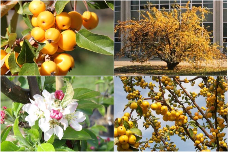 Райская яблоня, особенности ухода и посадки - Яблоня Golden Hornet