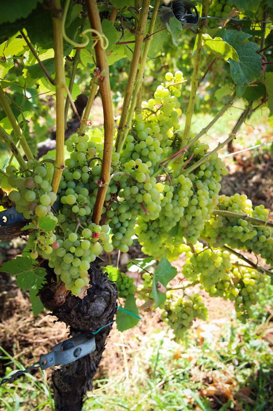 Эльзас: глоток прохладного рислинга в тени виноградной лозы