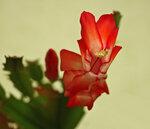 Цветьк декабриста