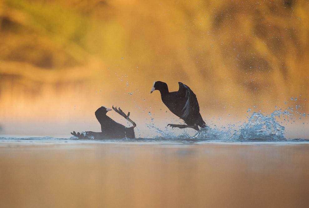 3. Идеальная посадка пеликана. (Фото Bret Charman | 2017 Bird Photographer of the Year Awards