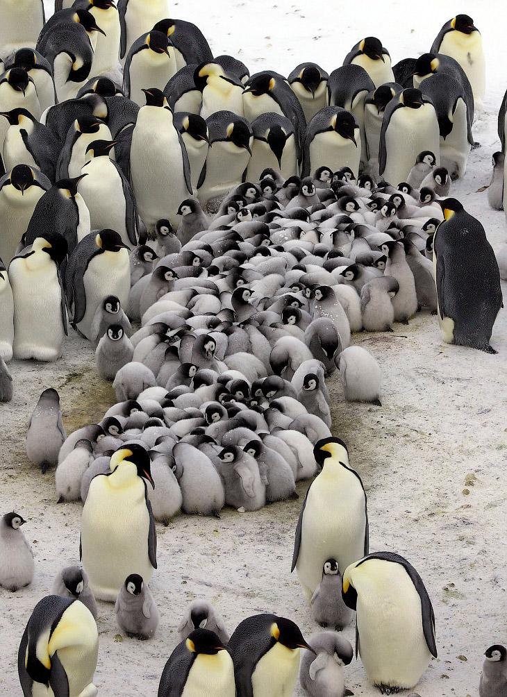 2. Как морская птица императорский пингвин охотится исключительно в океане. Он питается рыбой, кальм