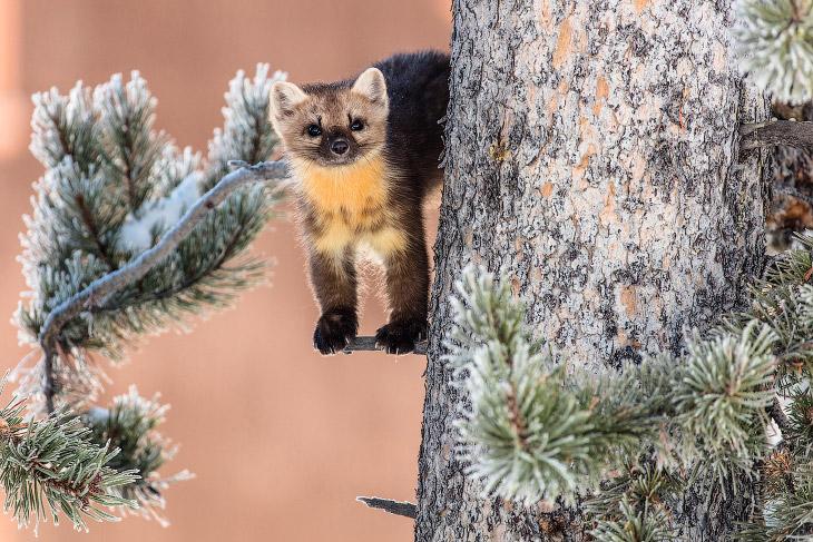 Национальный парк Йеллоустоун (25 фото)