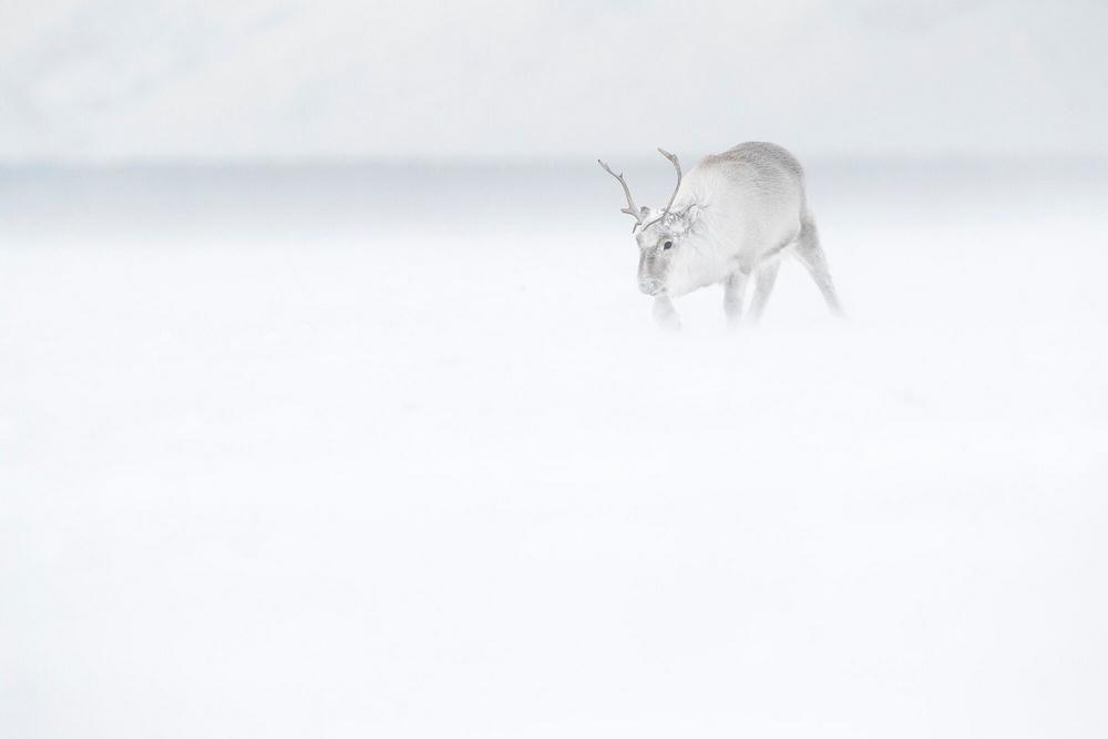 «Призраки Арктики»: белые медведи, северные олени и потрясающие пейзажи полярного архипелага