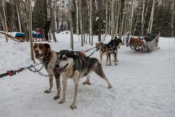 Ездовые собаки в Колорадо (22 фото)
