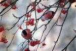 Снегири [© NickFW - 08.01.2018]