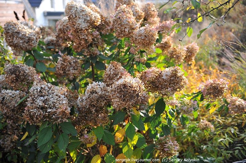 Hydrangea paniculata Limelight (2).JPG