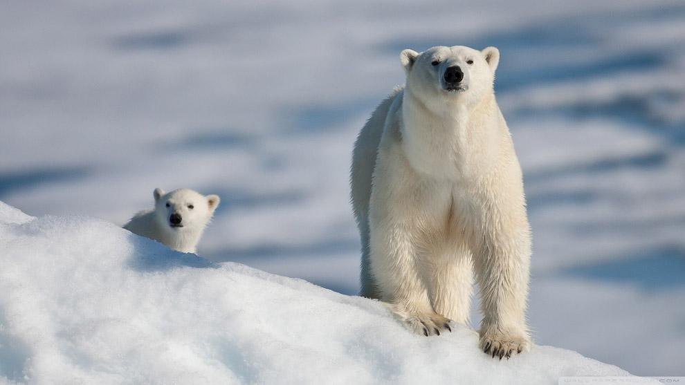 Люди медведю малоинтересны, но из-за изменения климата этим животным приходится все чаще вылезать на