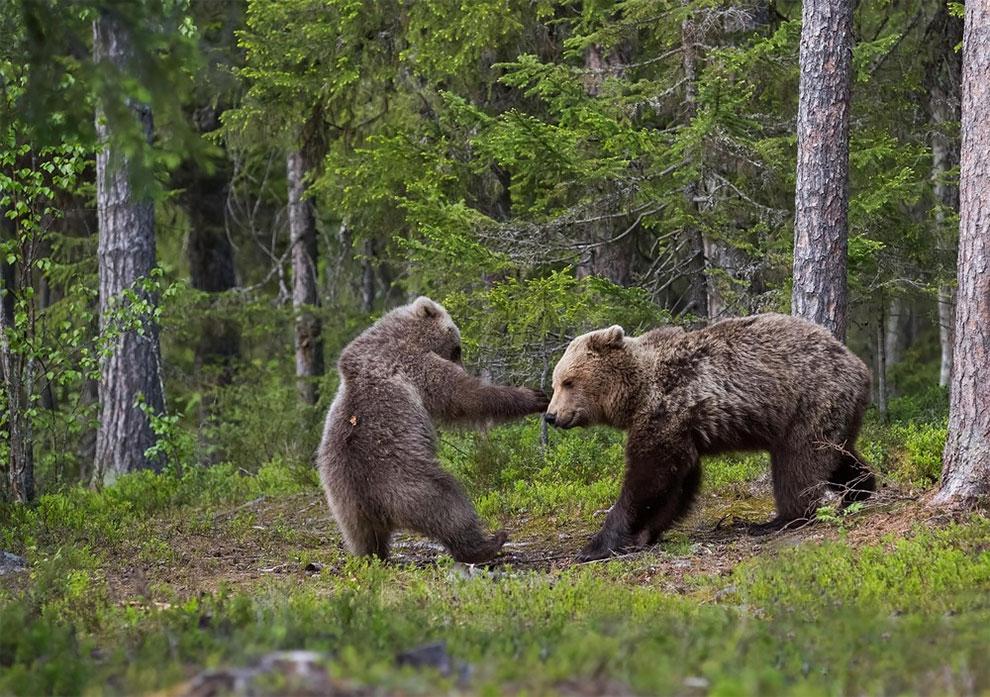 Медведица играет с малышом в лесу Финляндии. Фото: Hannele Kaihola