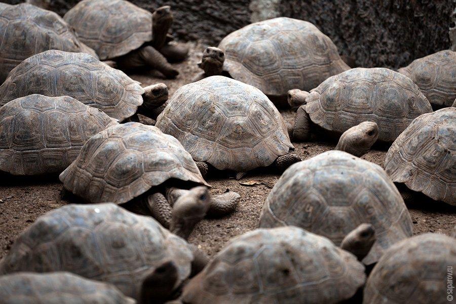 В дикой природе они уже не живут, поскольку завезенные человеком домашние животные извели всех череп