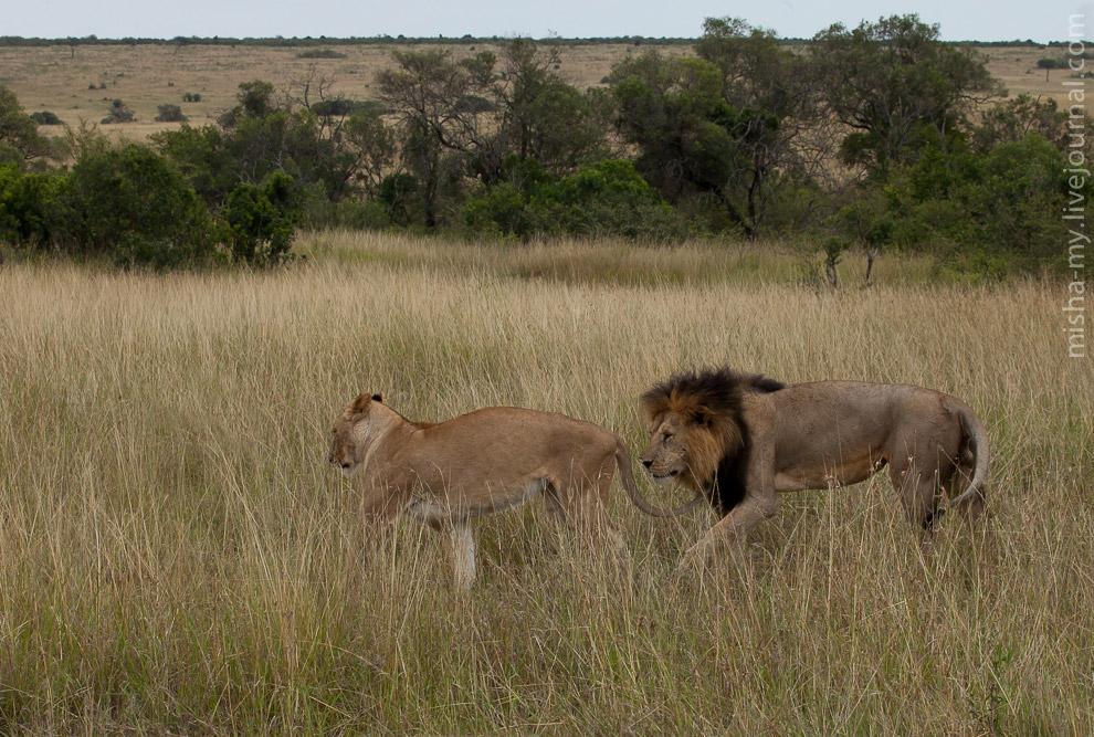 17. У львов происходил ханимун. Ханимун у них случается много раз в день, зато очень быстро...
