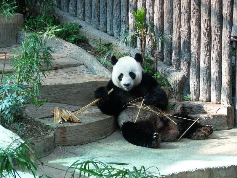 Чиангмай - Зоопарк - Панду отвлекают от обеда