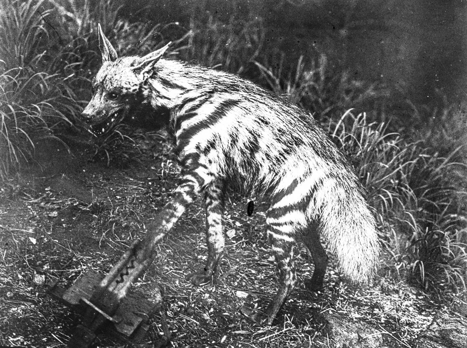 59. Пойманная в капкан  полосатая гиена