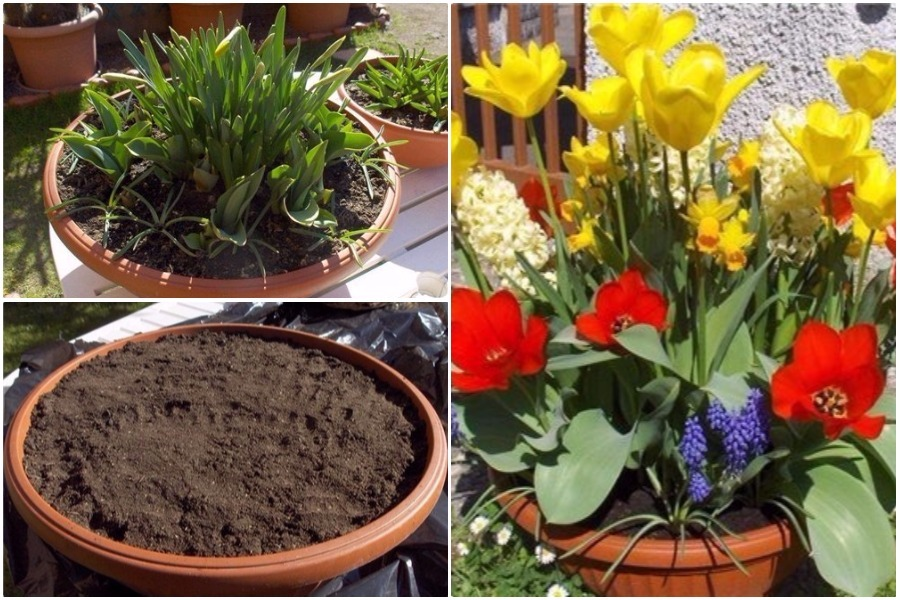 Создаем мобильную клумбу из тюльпанов, гиацинтов, нарциссов: посадка луковичных цветов в горшок осенью
