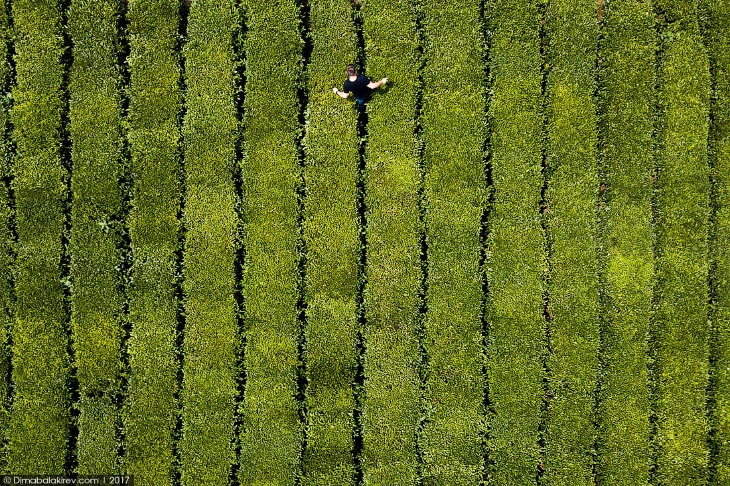 Чайные плантации в Сочи (10 фото)