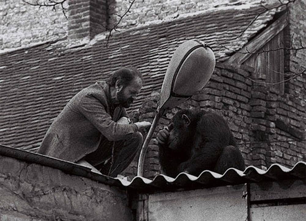 © pinterest     Директор Белградского зоопарка уговаривает сбежавшего шимпанзе покличке