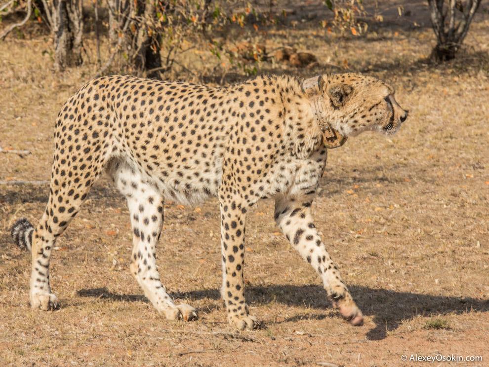 18. Юный гепард продолжал ходить по пятам за матерью. Он скучал, постоянно пищал, пытаясь най