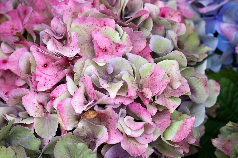 the Pink hydrangea close-up as a garden decoration. a bouquet for the bride