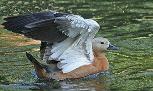 Аки лебедь