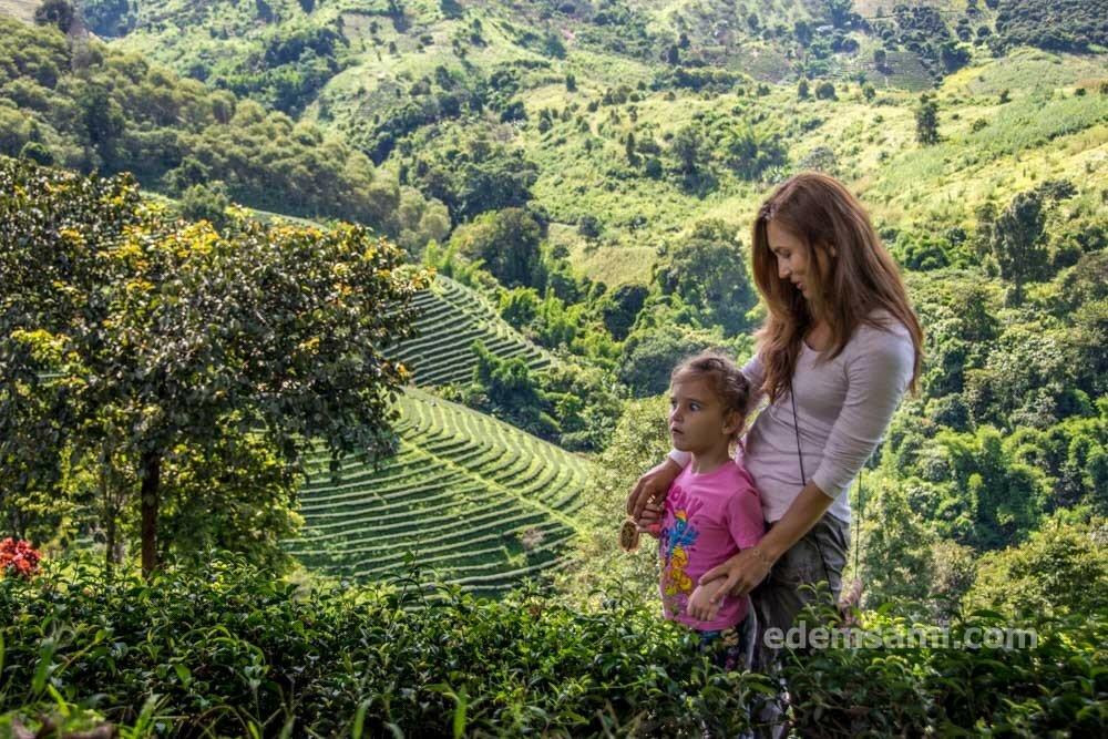 Мэсалонг чайные плантации