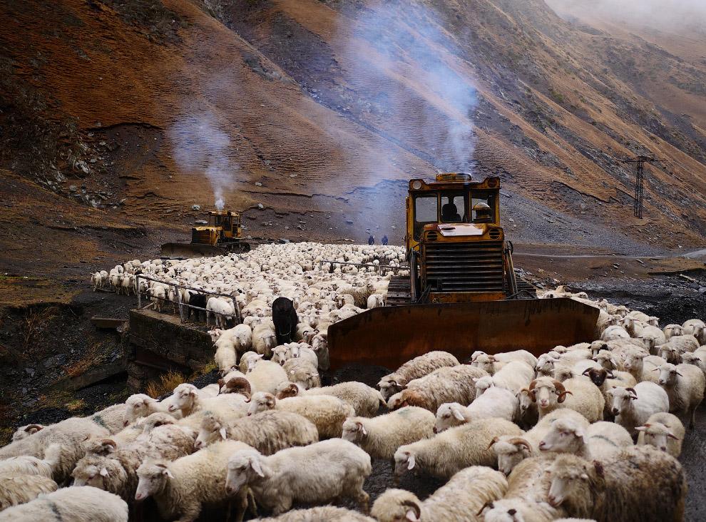 13. Каждая овца стоит около 60 долларов, всего овец около 1200. 80% — именно овцы. Как правило «овца