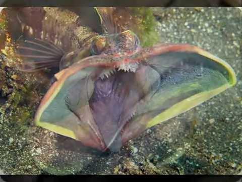 Морские хищники вида Neoclinus blanchardi встречаются на глубинах от 3 до 70 метров в тихоокеанских