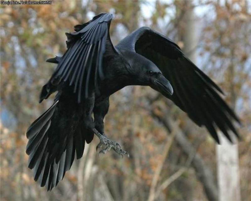 9. Ворона   Эти хитрые и хищные птички достаточно разумны, чтобы не нападать на взрослых и силь