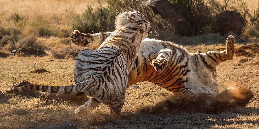 6. На всей территории своего ареала тигр является вершиной пищевой пирамиды и почти не испытывает ко