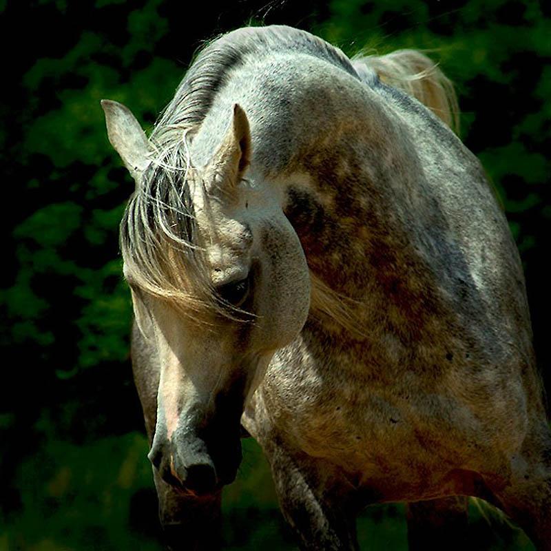 28. Чистокровной арабской лошадью является та, которая зарегистрирована в арабской книге чистокровны