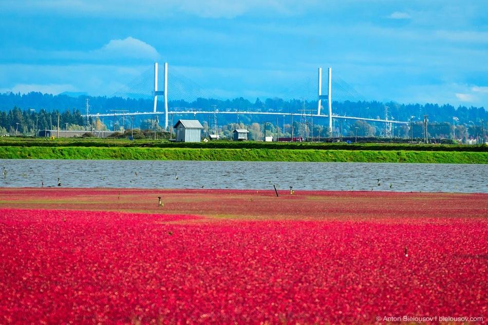 Клюква (англ. cranberry) — растение болотное, но в сельском хозяйстве выращивается на сухой почве в