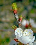 Цветок абрикоса на тоненькой ветке