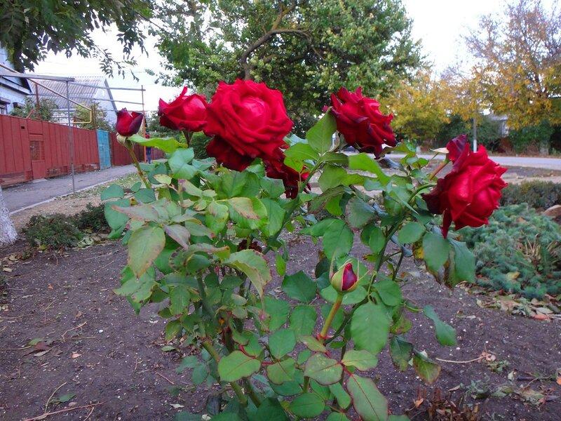 Розы! ... На финише октября, в городе у моря Азовского. (75).JPG