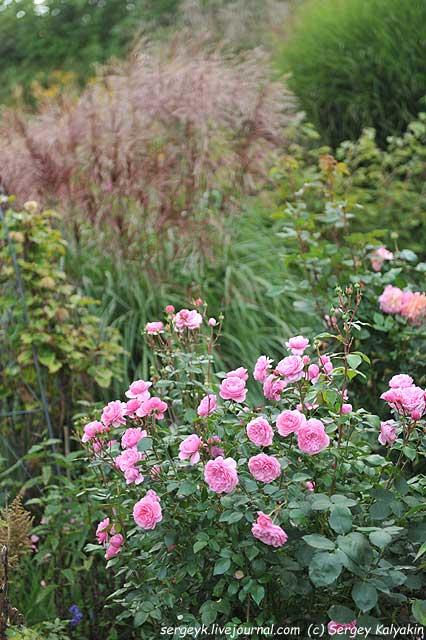 Rosa Rosenfest Miscanthus Kaskade.JPG