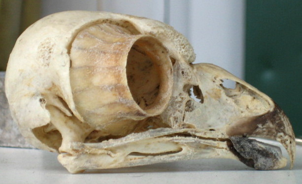 stock_owl_skull_lateral2_by_coyotlprole.jpg