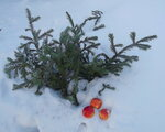 Яблоки на снегу