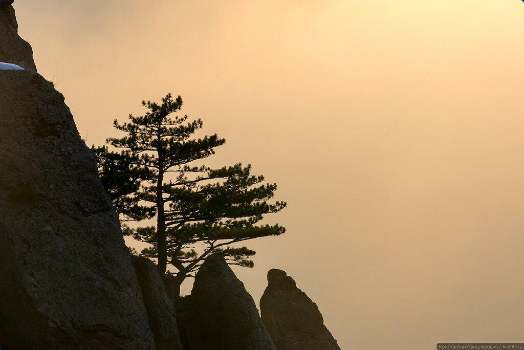 Одинокая сосна на скале. Гора Демерджи, Крым