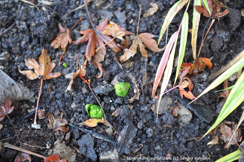 Hyacinthus.JPG