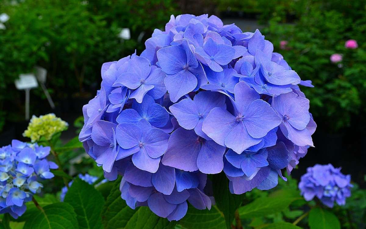Гортензия садовая (2 фото)