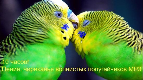 10 часов! Пение, чириканье волнистых попугайчиков MP3